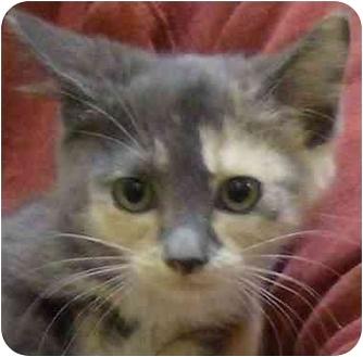 Domestic Longhair Kitten for adoption in Meherrin, Virginia - Thelma