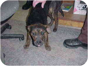 Terrier (Unknown Type, Medium)/Pit Bull Terrier Mix Dog for adoption in Gladwin, Michigan - Pit Mix (young)