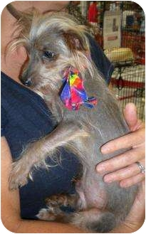 Yorkie, Yorkshire Terrier/Chinese Crested Mix Dog for adoption in Humble, Texas - Beaker