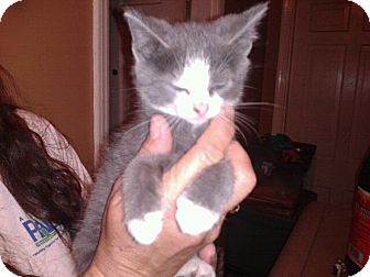 Domestic Mediumhair Kitten for adoption in Remlap, Alabama - Smurf