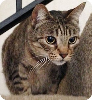 Domestic Shorthair Cat for adoption in North Highlands, California - Roseville