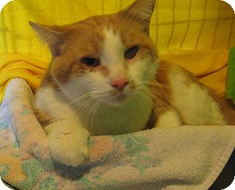 Domestic Shorthair Cat for adoption in Geneseo, Illinois - Timmy