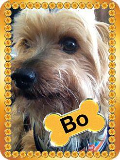 Yorkie, Yorkshire Terrier Dog for adoption in Lancaster, Kentucky - Bo the Yorkie