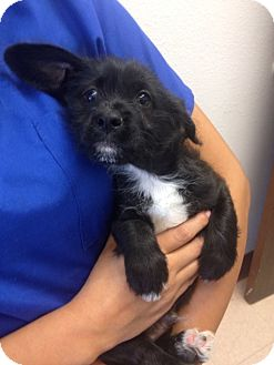 Shih Tzu/Lhasa Apso Mix Puppy for adoption in Los Angeles, California - Quincy