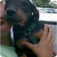 Adopt A Pet :: Dublin - dewey, AZ