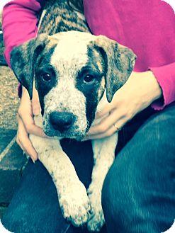 American Bulldog/Labrador Retriever Mix Dog for adoption in Hatifeld, Pennsylvania - Romeo