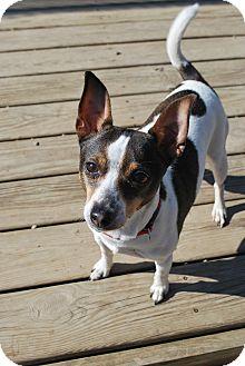 Rat Terrier Mix Dog for adoption in Berea, Ohio - Dixie