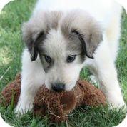 Anatolian Shepherd Mix Puppy for adoption in Austin, Texas - Watson