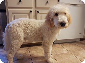 Labradoodle Mix Puppy for adoption in Somers, Connecticut - Chevy
