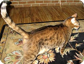 Bengal Cat for adoption in HILLSBORO, Oregon - Guiness *Offered by Owner* Bengal