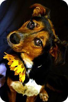 Beagle/Australian Cattle Dog Mix Dog for adoption in Fort Smith, Arkansas - Stella