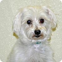 Adopt A Pet :: Benji - Port Washington, NY