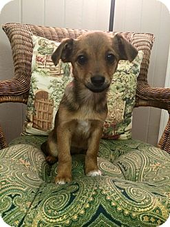 Chihuahua/Cairn Terrier Mix Puppy for adoption in Hagerstown, Maryland - Coppertone