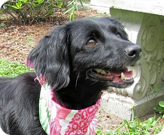 Dachshund Mix Dog for adoption in Port St. Joe, Florida - Emmy