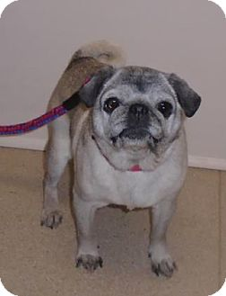 Pug Mix Dog for adoption in Gary, Indiana - Beth