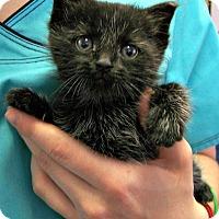 Adopt A Pet :: Sherlock - Toledo, OH