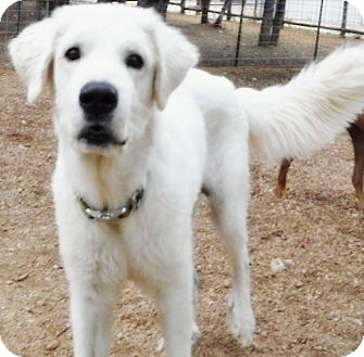 Great Pyrenees Mix Dog for adoption in Kyle, Texas - Eros