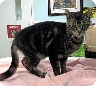 Domestic Shorthair Cat for adoption in Putnam Hall, Florida - Emily Elisabeth