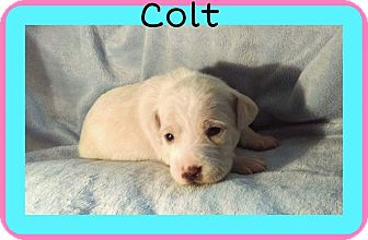 Schnauzer (Standard)/Pug Mix Puppy for adoption in Mesa, Arizona - Colt