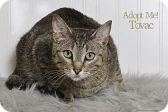Domestic Shorthair Cat for adoption in West Des Moines, Iowa - Tovac