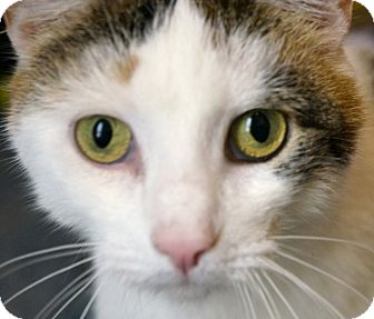 American Shorthair Cat for adoption in New York, New York - Angelina