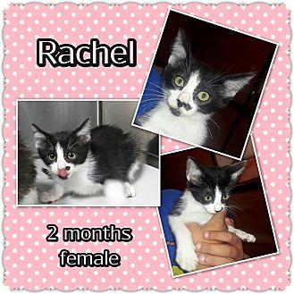 Domestic Mediumhair Kitten for adoption in Richmond, California - Rachel