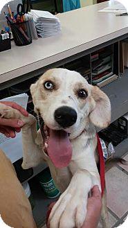 Siberian Husky/Beagle Mix Dog for adoption in Newburgh, Indiana - El Camino