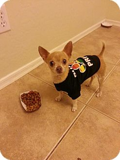 Chihuahua Dog for adoption in Goodyear, Arizona - JJ
