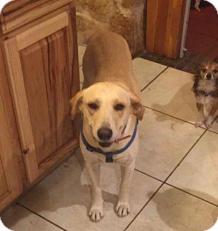 Labrador Retriever Mix Dog for adoption in Olympia, Washington - Precious W