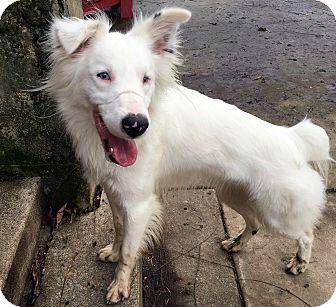 Border Collie/Australian Shepherd Mix Dog for adoption in Post Falls, Idaho - Marty
