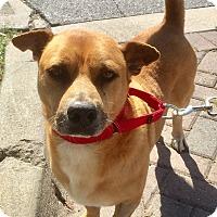 Adopt A Pet :: Sugar - Jupiter, FL