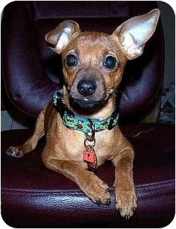 Miniature Pinscher Mix Puppy for adoption in Inman, South Carolina - Coby