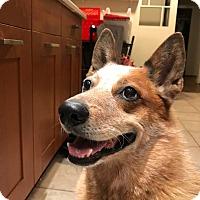 Adopt A Pet :: MERLE (Courtesy List) - San Pedro, CA