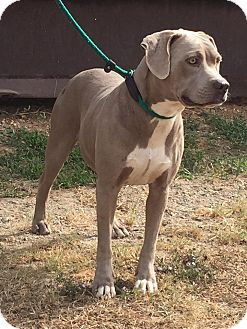 Weimaraner/Pit Bull Terrier Mix Dog for adoption in Demopolis, Alabama - Paisley