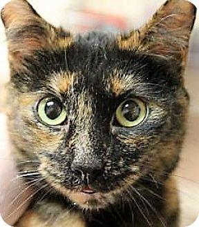 Domestic Shorthair Cat for adoption in Daytona Beach, Florida - Martina