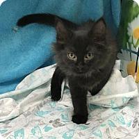 Domestic Mediumhair Kitten for adoption in Menominee, Michigan - Fable