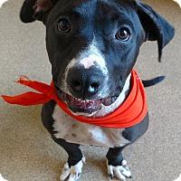 Adopt A Pet :: Rachel - Baltimore, MD