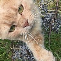 Adopt A Pet :: Katniss - Herndon, VA