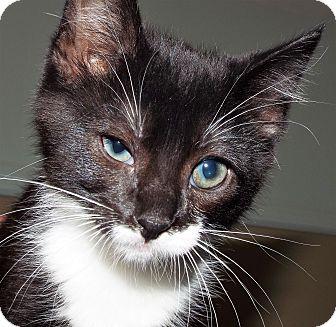 Domestic Shorthair Kitten for adoption in Grants Pass, Oregon - Lark