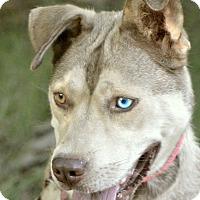 Husky/Australian Shepherd Mix Dog for adoption in Southbury, Connecticut - Sadie Mae~adopted!