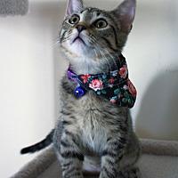 Adopt A Pet :: Chiyo - Richmond, VA