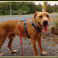Adopt A Pet :: Dodger - Flintstone, MD