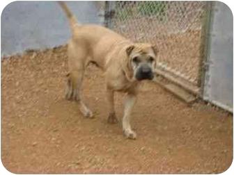 Shar Pei Dog for adoption in Houston, Texas - Charlei