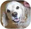 Cocker Spaniel Dog for adoption in Hamilton, Ontario - Dylan