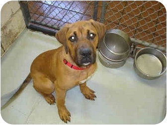 Mastiff/Boxer Mix Puppy for adoption in Broadway, New Jersey - Scout
