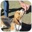 Photo 2 - Beagle Mix Dog for adoption in Phoenix, Arizona - Earl