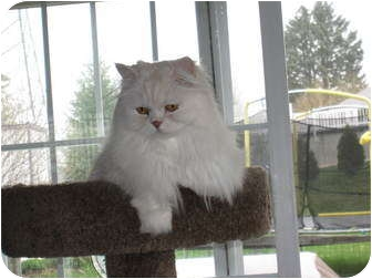 Persian Cat for adoption in Catasauqua, Pennsylvania - Kieran