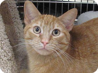 Domestic Shorthair Cat for adoption in Diamond Bar, California - SUN