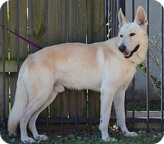 German Shepherd Dog Dog for adoption in Houston, Texas - Snow