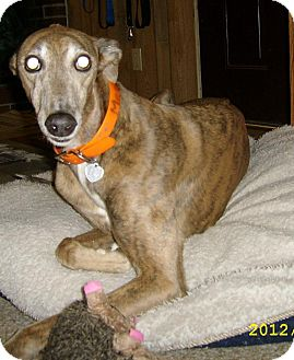 Greyhound Dog for adoption in Knoxville, Tennessee - RC Big Sky